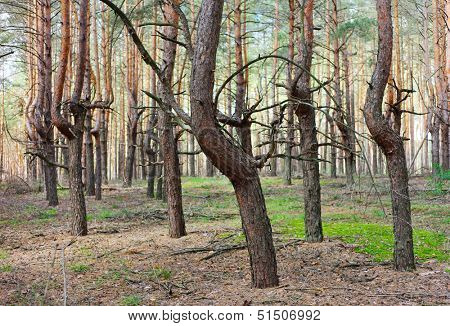 Pine forest thicket with strange form of trees trunks