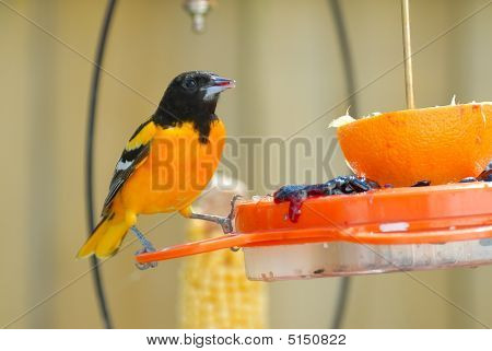 Adult Male Baltimore Oriole On Feeder (2)