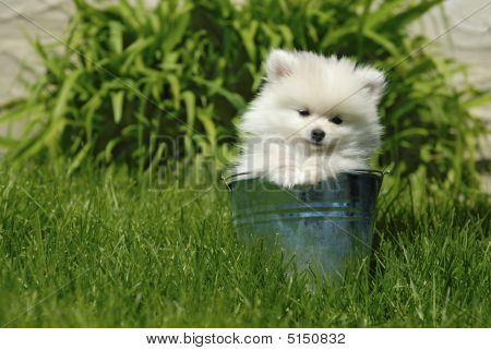 White Pomeranian Puppy In Metal Pail