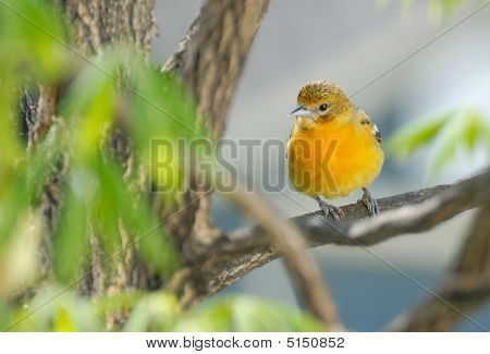 Juvenile Baltimore Oriole In Tree (2)