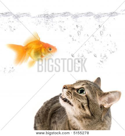 Angry Cat And Gold Fish