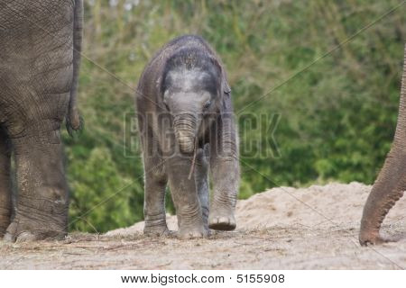 New born female asian elephant playing with small stick poster