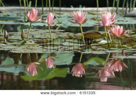 Lotus Blossom Reflection