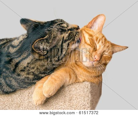 One cat grooming another.