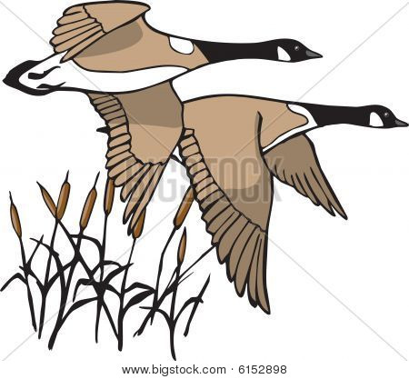 An illustration of two Canada Geese in flight. Great for outdoor enthusiasts and outdoor publications. poster