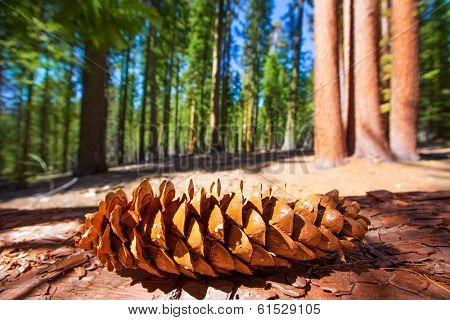 Sequoia pine cone macro in Yosemite Mariposa Grove at California