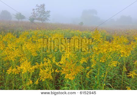 Goldenrod Meadow in Fog