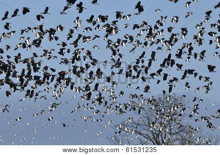 Lapwing & Dunlin In Flight