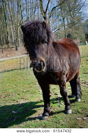 Little Black Pony