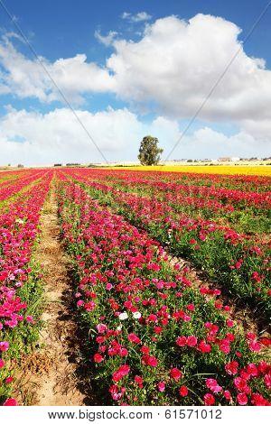 Spring flowering. Huge fields of large peony garden ranunculus grow in kibbutz in southern Israel.    poster