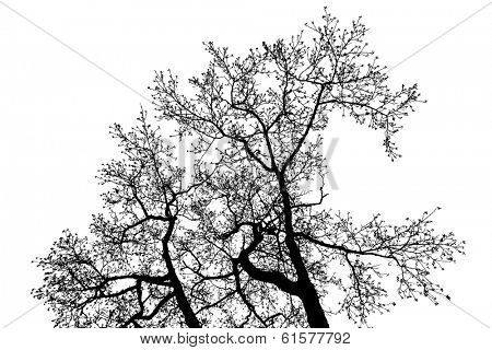 Black Alder tree top branches silhouette, vector