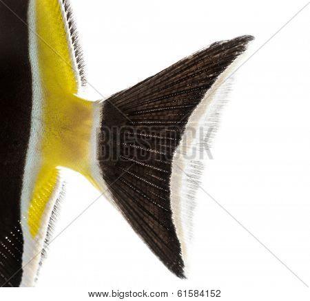 Close-up of a Pennant Coralfish's caudal fin, Heniochus acuminatus, isolated on white