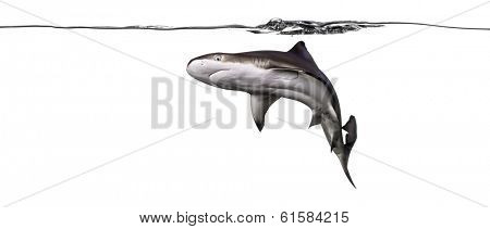 Blacktip reef shark swimming under water line viewed from below, Carcharhinus melanopterus, isolated on white