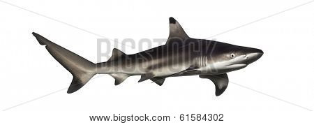 Blacktip reef shark, Carcharhinus melanopterus, isolated on white