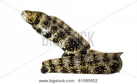 Side view of a Snowflake Moray, Echidna nebulosa, isolated on white