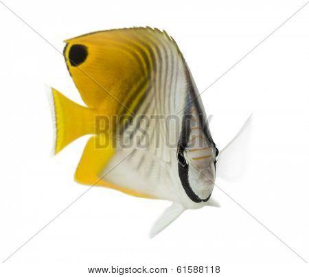 Threadfin Butterflyfish, Chaetodon auriga, isolated on white
