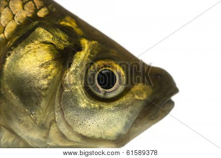 Close-up of a Crucian carp's head, Carassius carassius, isolated on white