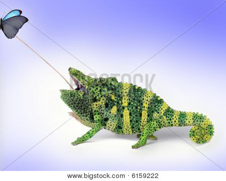 Chameleon hunting the butterfly