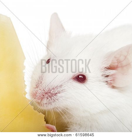 Close-up of an albino white mouse eating cheese, Mus musculus, isolated on white