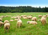 Herd of sheep on green meadow - Zakopane(Poland) poster