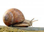 Garden snail (Helix aspersa) isolated poster