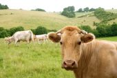 Beige cows cattle eating on the green grass meadow outdoor poster