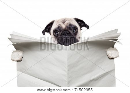 pug dog reading a blank white empty newspaper isolated on white background poster