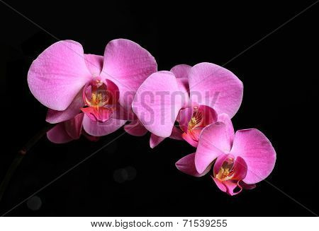 Beautiful pink orchid on black background