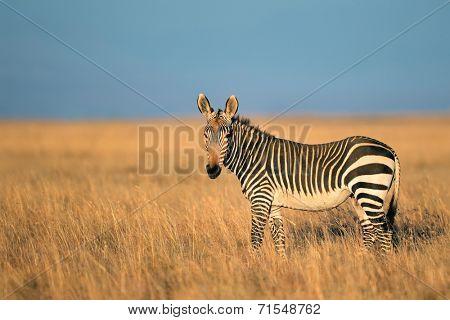 Cape Mountain Zebra (Equus zebra), Mountain Zebra National Park, South Africa