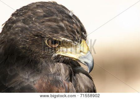 American Eagle mousetrap