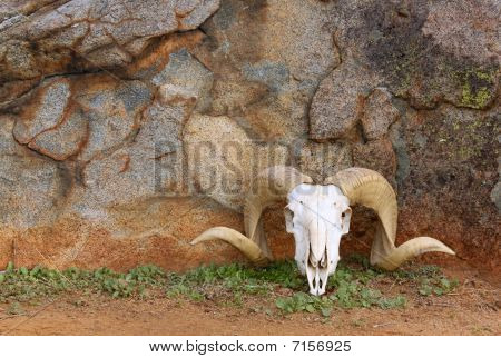 Ram Skull Against Rock