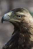 raptor, eagle brown plumage and pointed beak poster
