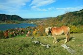 Shetland pony and lake view to schliersee health resort. poster