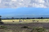Grant's gazelle in the African savannah on background of Mount Kilimanjaro poster