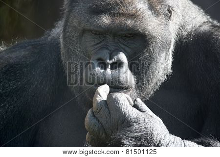 Thoughtful Expression Of A Gorilla Male, Silverback.