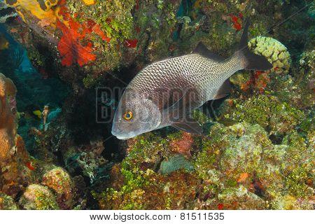 Black Margate On A Coral Reef - Roatan