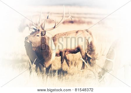 American Elks Faded To White