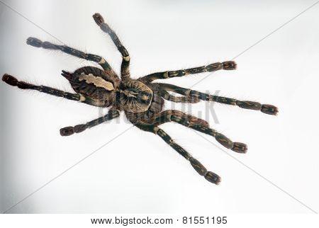 Beautiful spider tarantula Poecilotheria ornata closeup. Photo dangerous spider poster