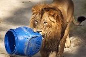 Young asian lion is carrying the blue plastic tun. King of beasts. Wild beauty of the biggest cat. The most dangerous and mighty predator of the world. poster