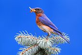 Male Eastern Bluebird (Sialia sialis) on a branch with a blue background poster