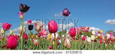 Bright Tulip Field In Miscellaneous Kinds And Colors, Blue Sky