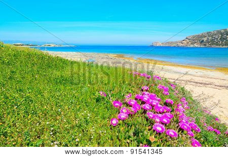 Pink Flowers And Green Grass By The Sea In Capo Testa
