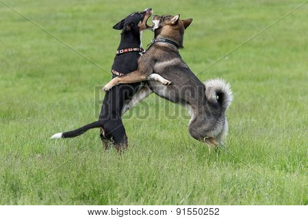 Shikoku dog playing with its friend