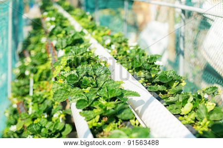 Organic hydroponic strawberry field