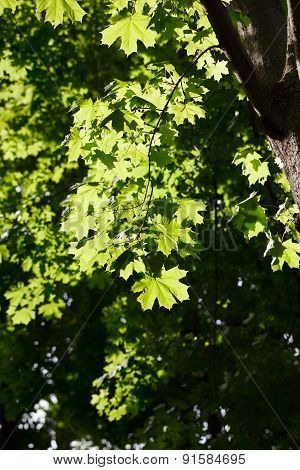 Morning Sun On Maple Tree