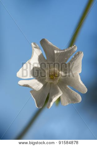 Macro of Melandrium album (or Silene latifolia) flower with dew drops over blue sky background poster