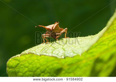 Squash Bug On Green Leaf