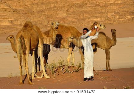 Man With Camels In Wadi Rum Desert