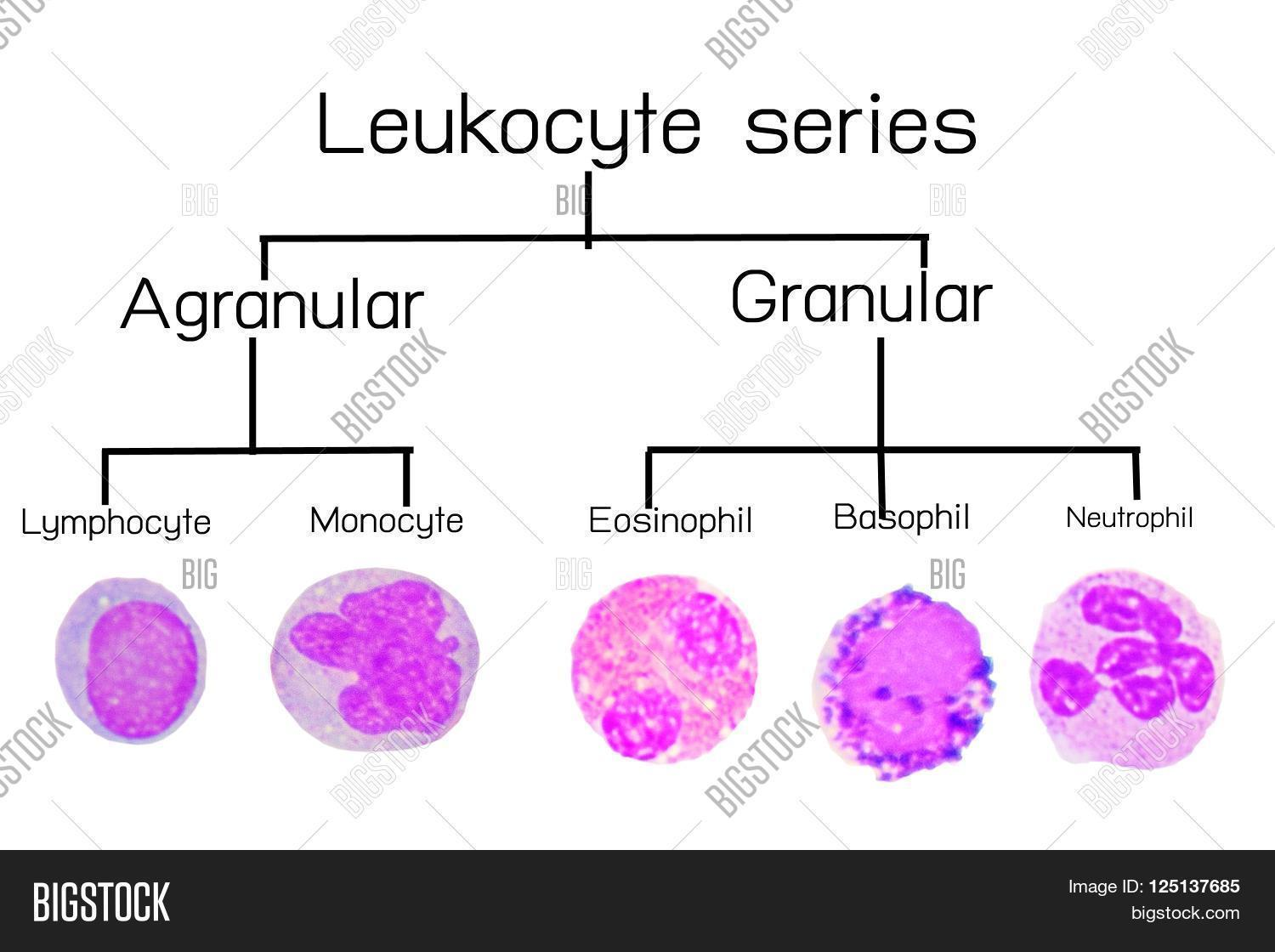 Neutrophil Vs Eosinophil | www.pixshark.com - Images ...