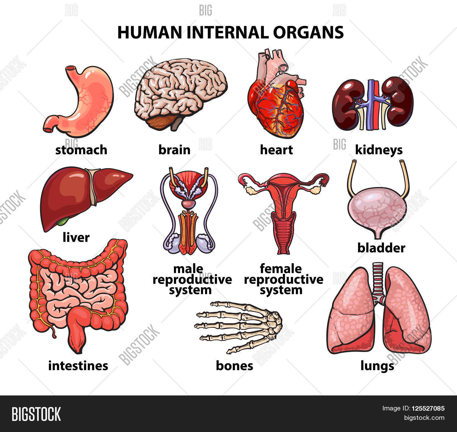 Picture of internal body organs